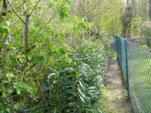 Ein 10 Meter langes Teilstück unserer Kirschlorbeer Genolia Hecke haben wir test weise mit einem Schlauch -Bewässerungssystem versehen.