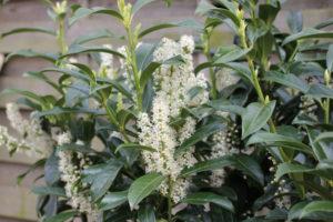 Kirschlorbeer Genolia in der Mai Blüte, die Pflanzen wurden im letzten Jahr in den Boden gesetzt und sind jetzt schön angewurzelt