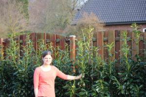 Kirschlorbeer Genolia kurz nach der Anpflanzung als Sichtschutzhecke
