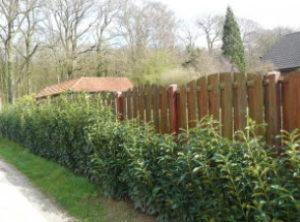 Kirschlorbeer Genolia gepflanzt als Sichtschutzhecke auf einer Länge von ca 70 Meter