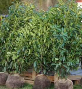 Kirschlorbeer Genolia in der Größe 120-140 cm nach Anlieferung, kurz vor dem endgültigen Anpflanzen auf unserem Grundstück