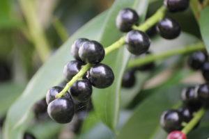 Kirschlorbeer Genolia mit schwarzen Früchten im September